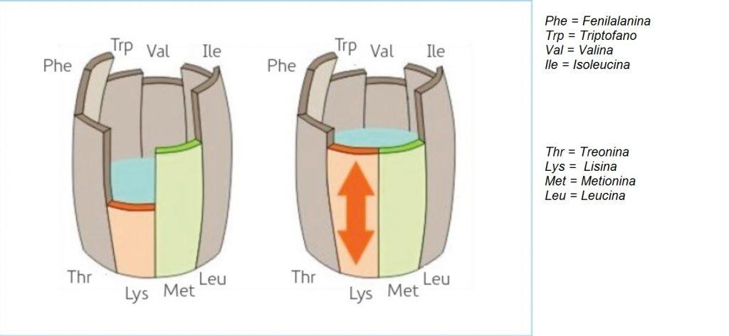 Figura 3: Quando não há aminoácido limitante não é possível completar o recipiente. As abreviações com três letras na figura são os aminoácidos essenciais. Nos cereais a lisina é frequentemente o aminoácido limitante, enquanto que no feijão os aminoácidos sulfurados (metionina + cisteína) são frequentemente os limitantes.